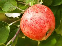 Your Guide to Apple Orchards in the Twin Cities